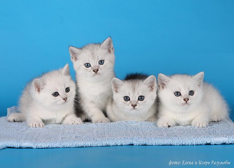 Казань британские коты
